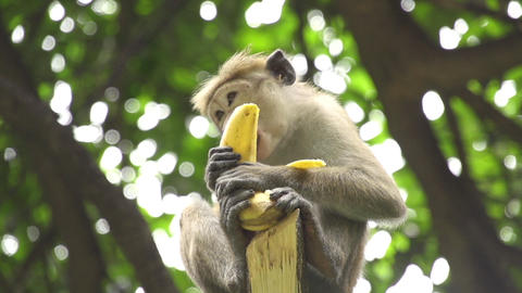 SLOW MOTION: Monkey eating the banana Footage