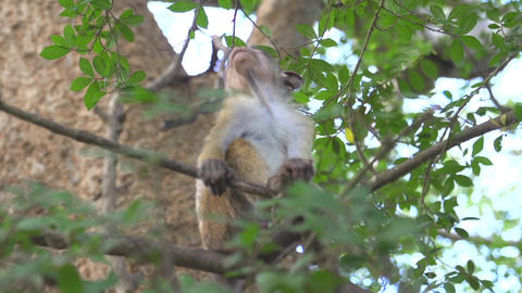 Young monkey in a tree Footage