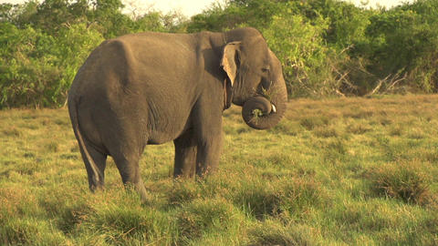 SLOW MOTION: Elephant eating grass at sunset Footage