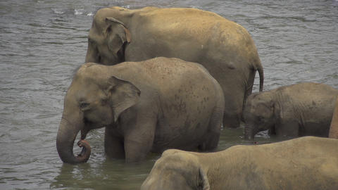 SLOW MOTiON: Elephants drinking in a river Footage