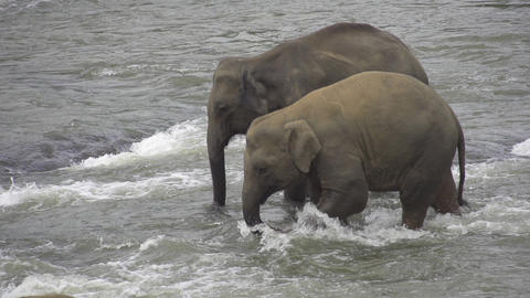 SLOW MOTION: Elephants in Indian river Footage