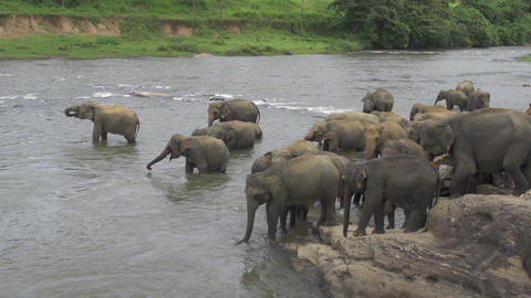 Herd of elephants in the river Footage