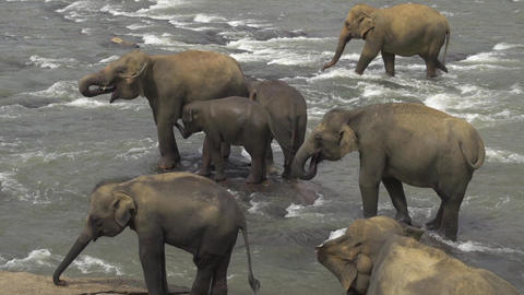 Elephant herd in a river Footage