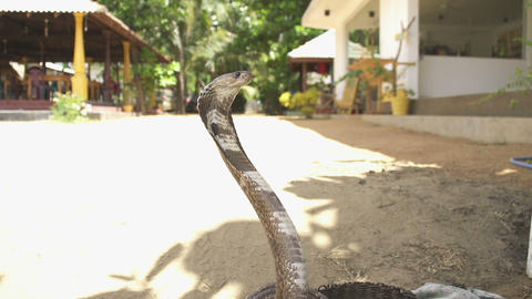 SLOW MOTION: Training an indian cobra Footage