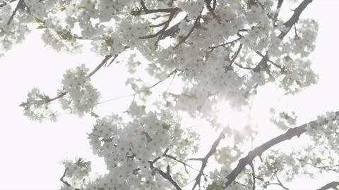 SLOW MOTION: White flowers blooming Footage