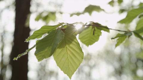 SLOW MOTION: Sun shining through lush leaves in sp Footage