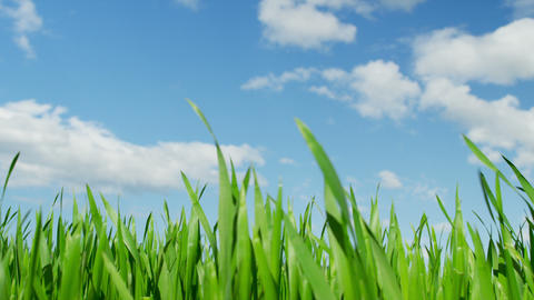 CLOSE UP: Green Wheat Field Swaying In The Wind stock footage