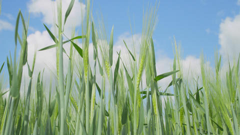 CLOSE UP: Green Wheat Field stock footage