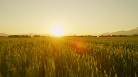AERIAL CLOSEUP: Flying over the wheat field at sun Footage