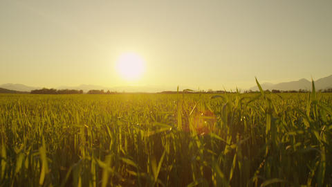 CLOSE UP: Sunset sun shining through the wheat lea Footage