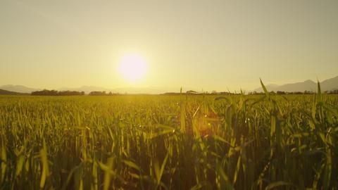 CLOSE UP: Sunset sun shining through the wheat lea Footage