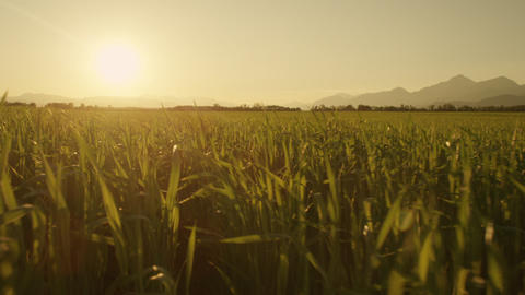 AERIAL: Rising up from wheat field towards the sun Footage