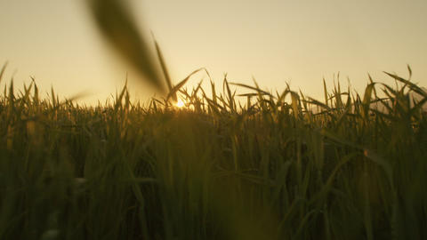 SLOW MOTION: Sun shining through wheat field Footage