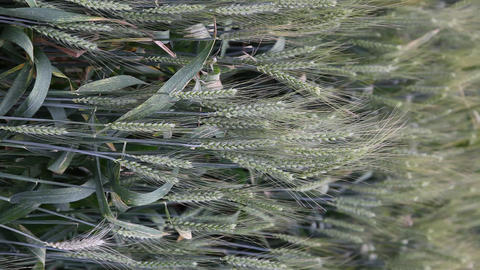 Wheat Field stock footage