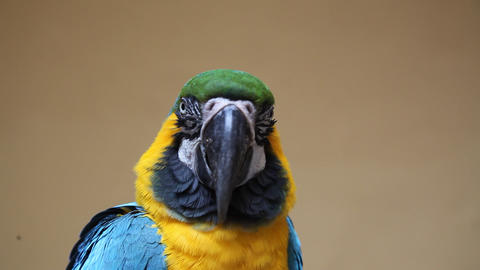 Cute colorful parrot Footage