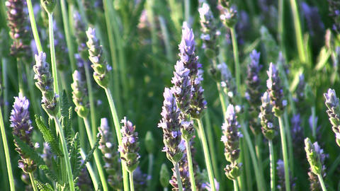 Lavender in the garden Stock Video Footage