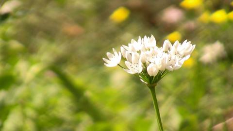 Garlic flower Footage