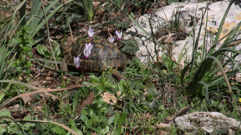 The turtle and the cyclamens Footage