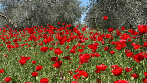 Wild Poppy and olive trees Footage