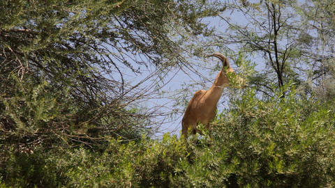 Nubian Ibex- Capra ibex nubiana Footage
