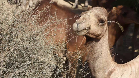 Camels eat from tree in oasis in the desert Footage
