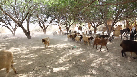 Goats and camels in oasis in the Negev desert in I Footage