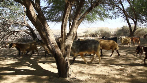 Goats in oasis in the Negev desert in Israel Footage
