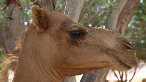 Camel portrait in oasis in the desert Footage