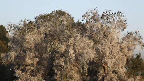 Cormorant birds on trees near Jordan River and Sea Footage