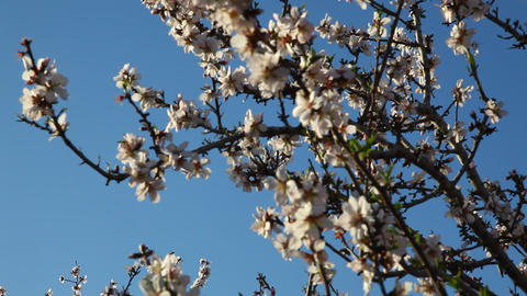 Deciduous trees blooming orchard Footage