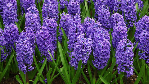 Beautiful Hyacinth stock footage