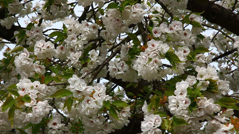 White Cherry blossoms Footage