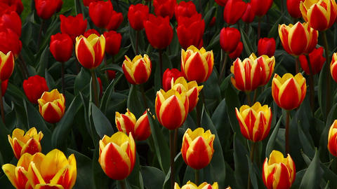 Colorful Tulip flowers Footage