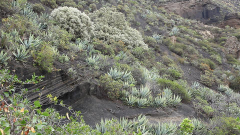 Typical vegetation at La Caldera de Bandama in vol Footage