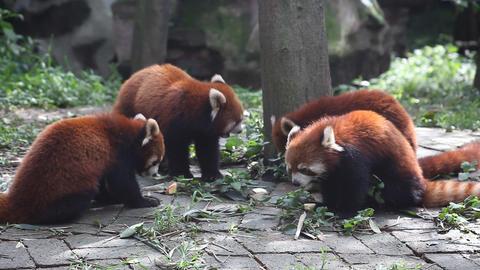 Red Panda Footage