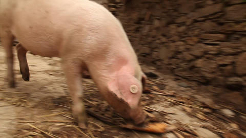 Pigs Footage