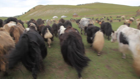 Yaks Footage