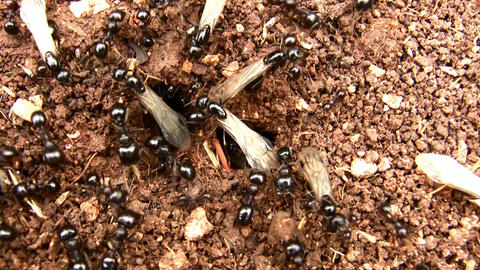 Winged Ants Before Their Bridal Flight stock footage