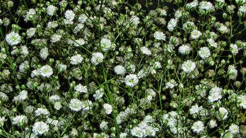 Blooming flowers of Gypsophila paniculata time lap Footage