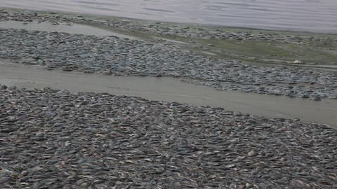 Dead fish Footage