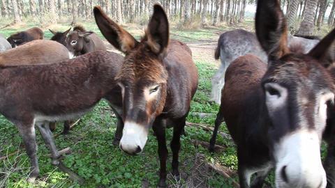 Donkeys in organic farm Stock Video Footage