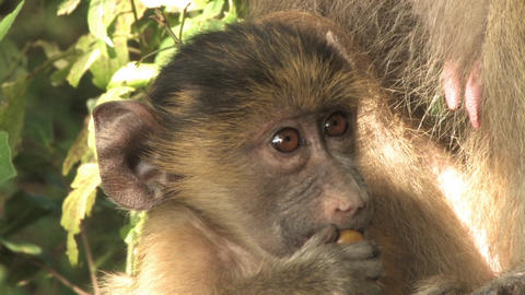 Cute baby monkey beast feeding from mother Footage