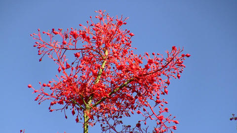 Brachychiton acerifolius Flame Tree red flowers Footage