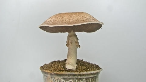 The culinary medicinal Royal Sun Agaricus mushroom Footage