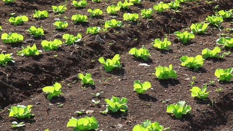 Vegetables in the field and garden bed Footage