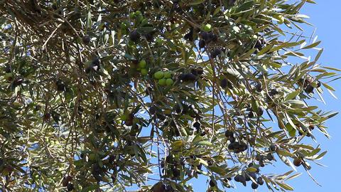 Olives on the tree Footage
