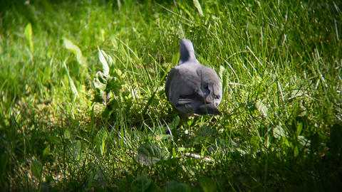 pigeon eating in the sunny grass Footage