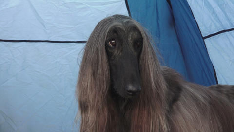 Afghan hound. Breed greyhounds.4K Footage