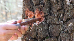 Man prepares a hole in a tree to collect birch sap Footage