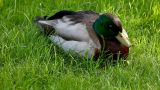 Duck sit on grass Footage